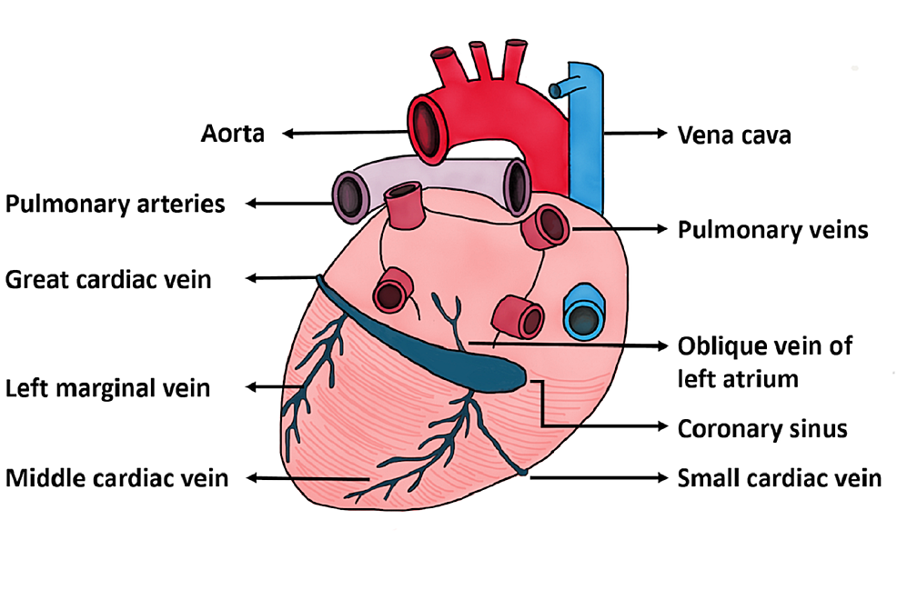 Illustration-of-Cardiac-Vessel-Anatomy.