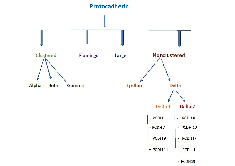 Types-of-protocadherins.