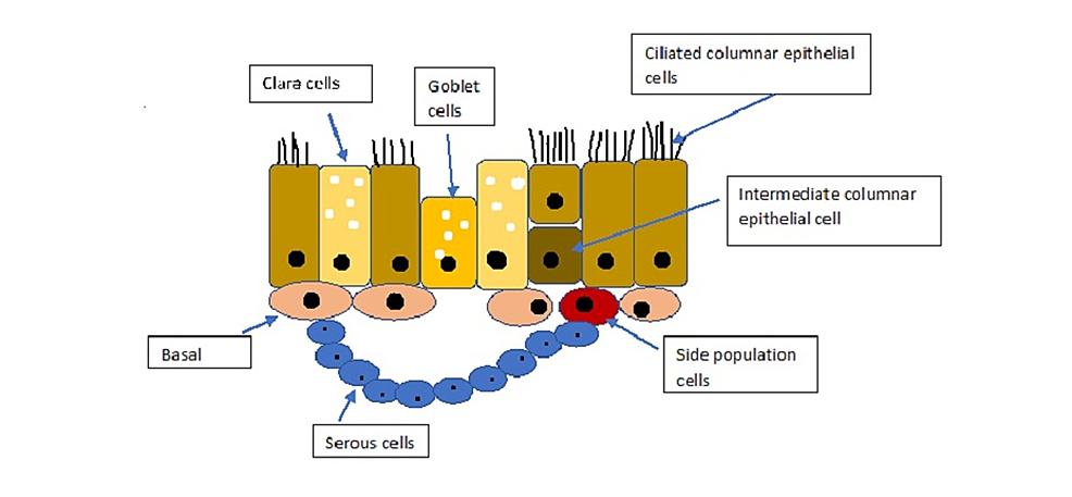 Structure-of-respiratory-epithelium.