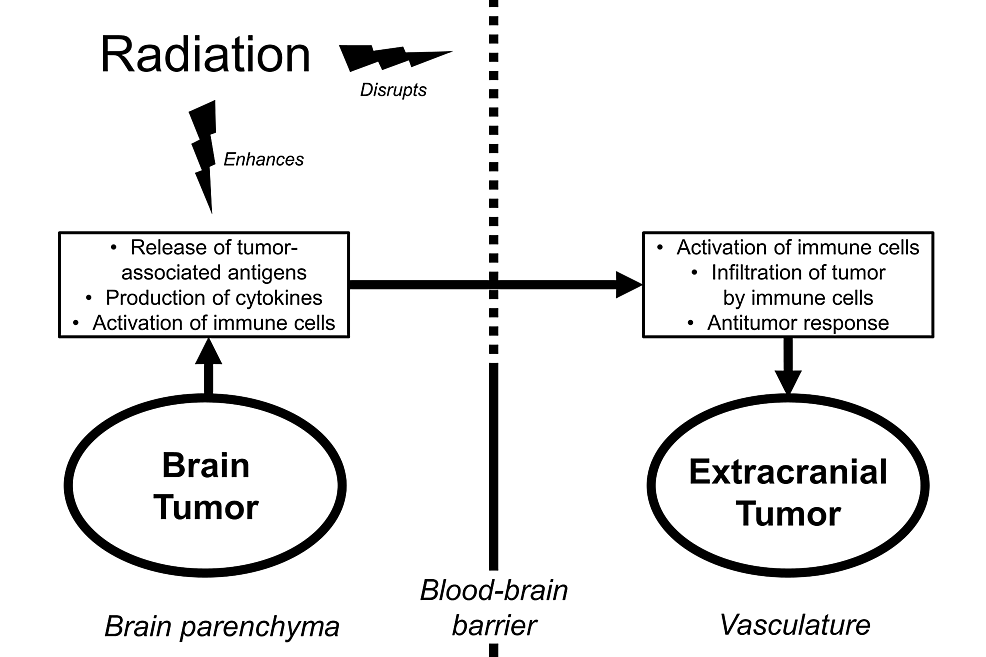 Schematic-depicting-an-intracranial-to-extracranial-abscopal-response-resulting-from-potential-interactions-between-radiation,-the-blood-brain-barrier,-and-antitumor-immunity