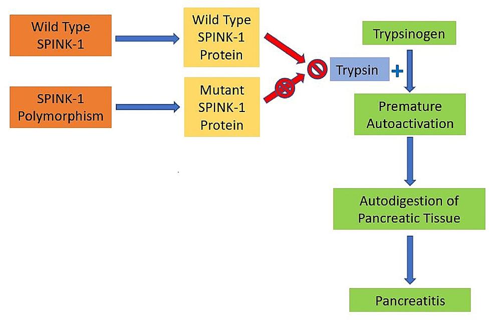 Pathogenesis-of-the-SPINK-1-mutation-in-the-development-of-pancreatitis.