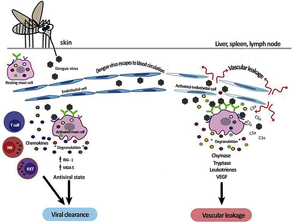 Pathogenesis-of-dengue-virus-infection.-