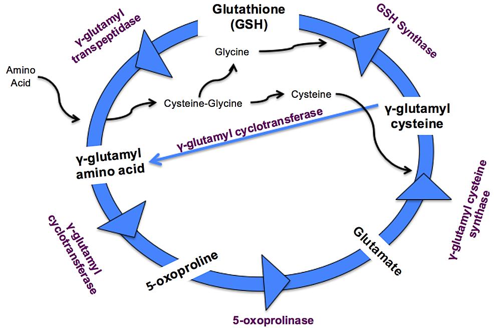 Gamma-Glutamyl-Cycle