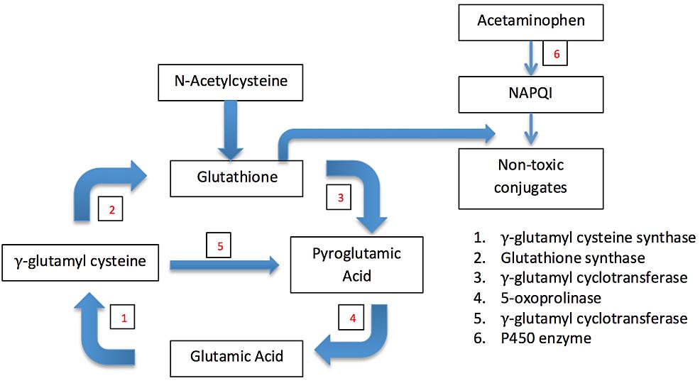 Paracetamol's-Effect-on-the-Gamma-Glutamyl-Cycle