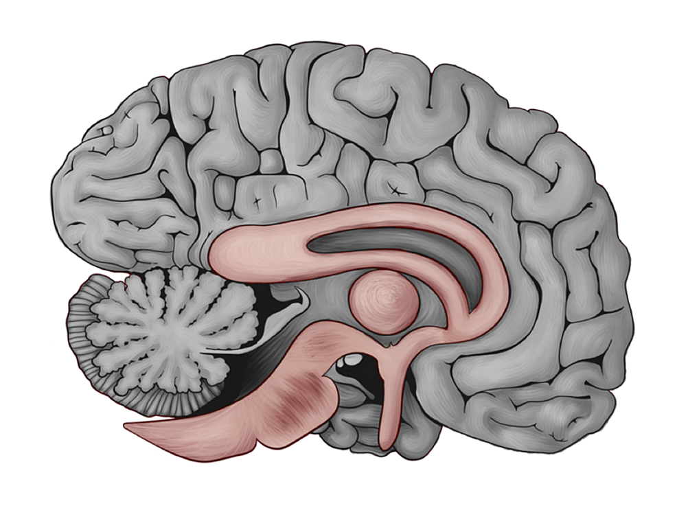 Color-differentiated-brain-between-the-old-and-new-gross-anatomical-description-of-the-human-brain.