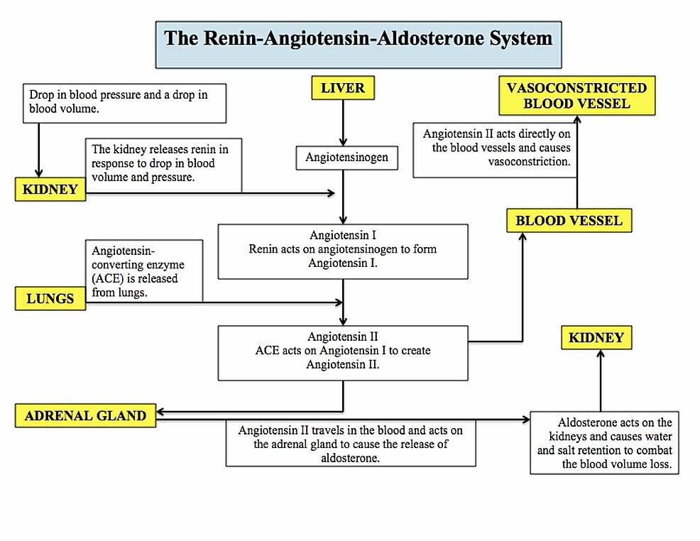 The-renin-angiotensin-aldosterone-system