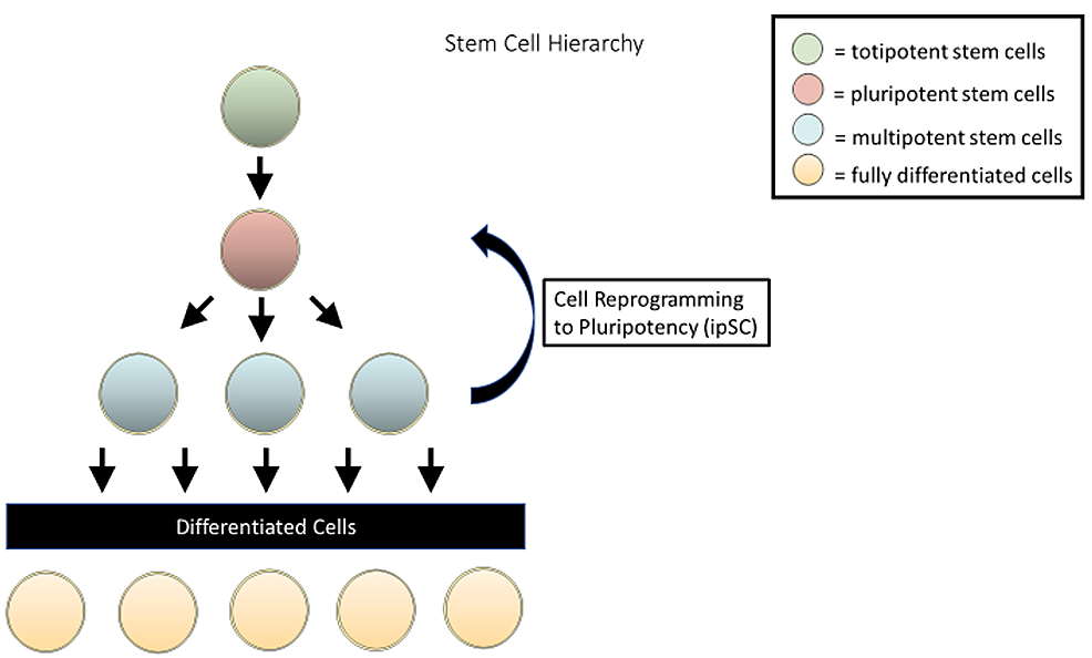 Various-stages-of-stem-cell-differentiation