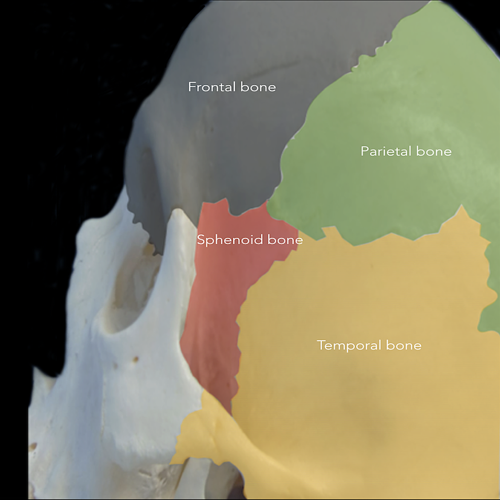Cranial-bones-involved-in-the-pterional-approach