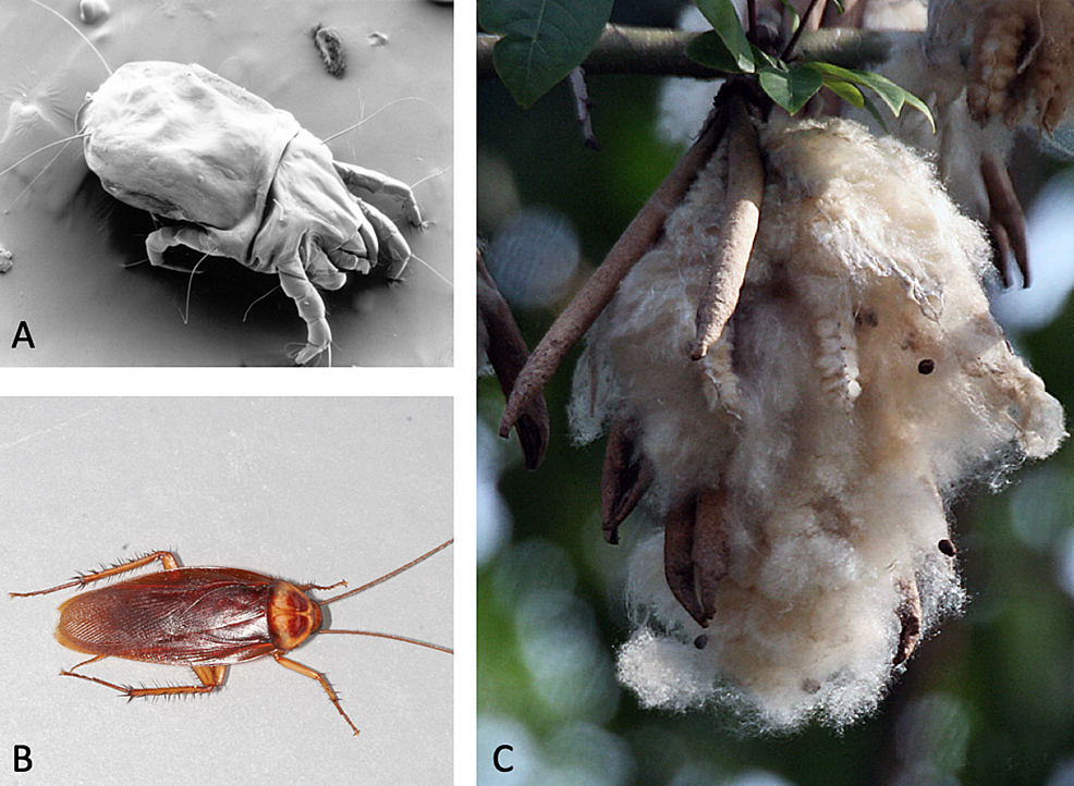 Visual-representation-of-the-patient's-allergies.-A:-dust-mites;-B:-cockroach;-and-C:-Kapok-fibers-(commonly-found-in-mattress/bedding).
