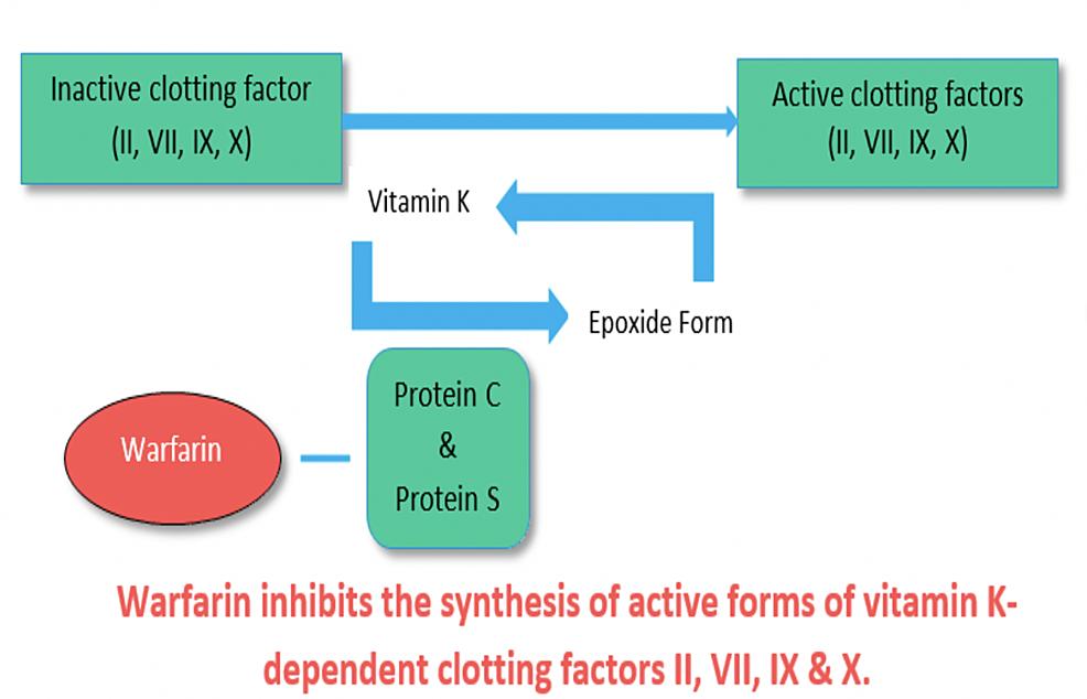 Warfarin's-mechanism-of-action