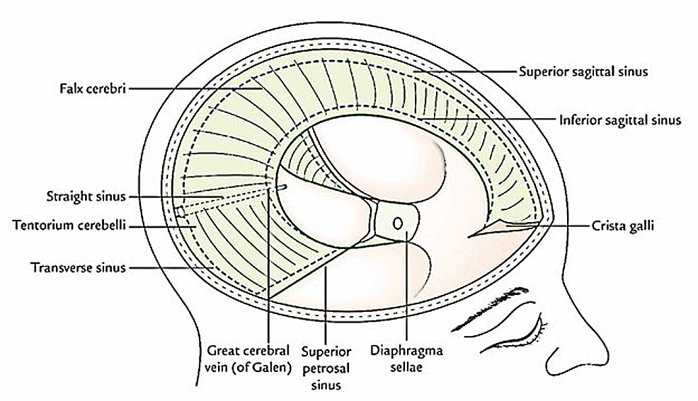 The-image-shows-the-dural-connections-and-the-venous-sinuses.
