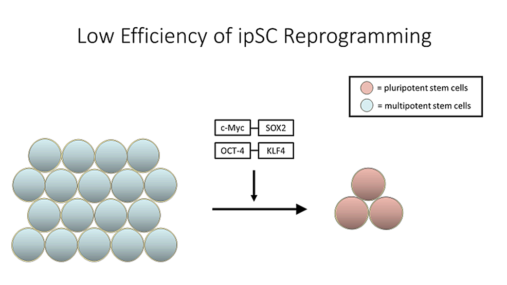 Each-cell-line-of-human-iPSCs-requires-two-to-four-months-to-develop,-starting-with-the-collection-of-primary-cells,-which-are-then-reprogrammed,-with-efficiencies-of-approximately-0.01%-to-0.1%,-and-grown-into-a-sizable-induced-pluripotent-stem-cell-(iPSC)-population.