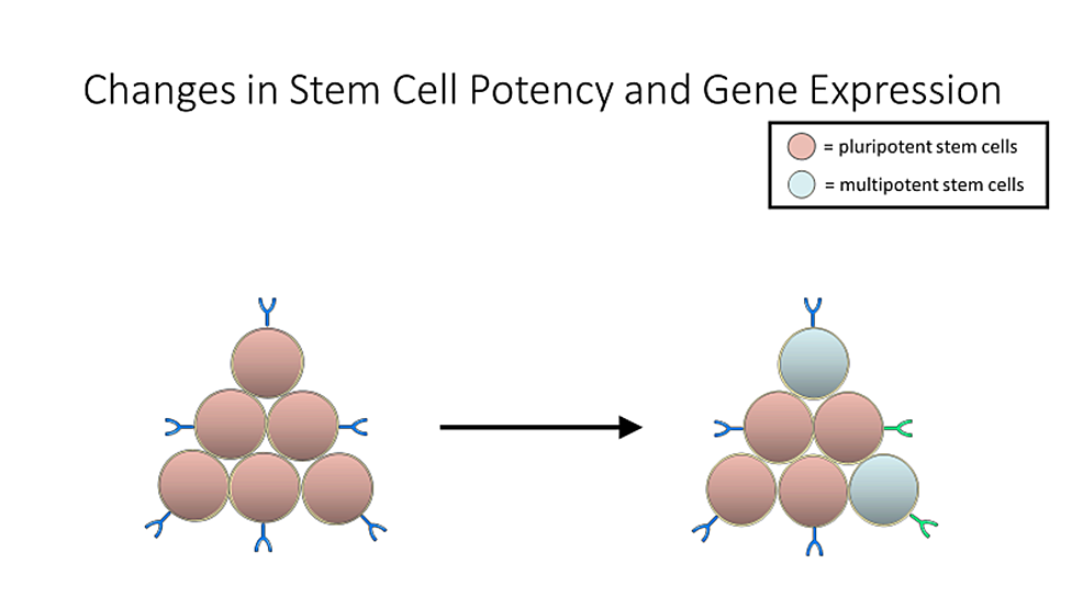 Keeping-cells-in-culture-for-the-long-periods-of-time-required-to-reprogram-induced-pluripotent-stem-cells-(iPSCs)-can-also-result-in-changes-in-potency-in-gene-expression.-This-can-result-in-cells-that-are-not-viable-for-therapeutic-purposes,-and-those-will-have-to-be-sorted-through.