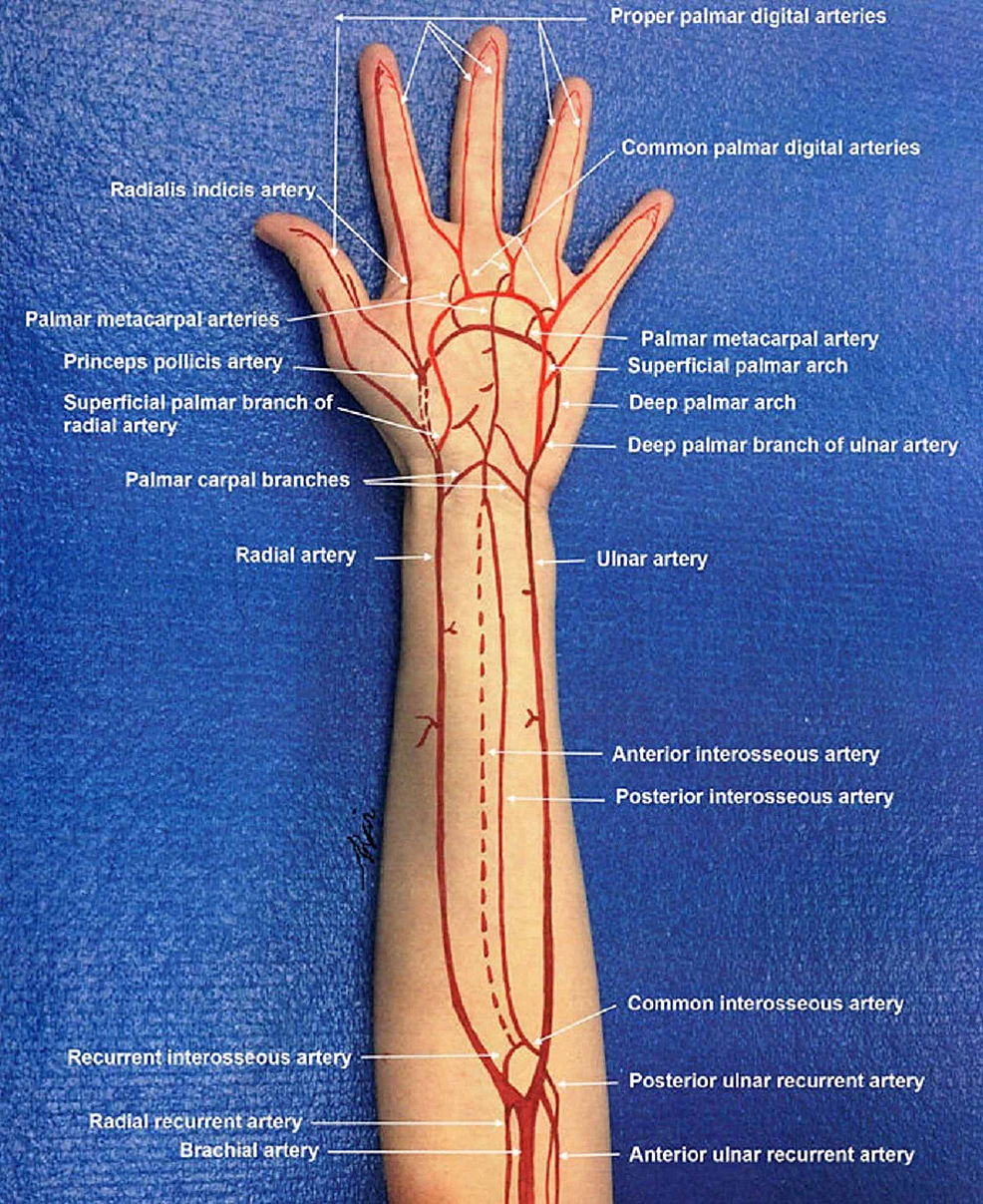 Arterial-circulation-in-the-forearm-and-hand.