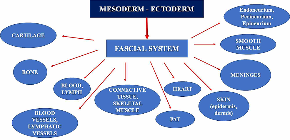 The-figure-illustrates-the-different-embryological-origins-of-the-system-or-fascial-continuum.