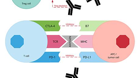 Content card 8fd0ea90eba711e98596df92c13b95ee immune blockade diagram 4