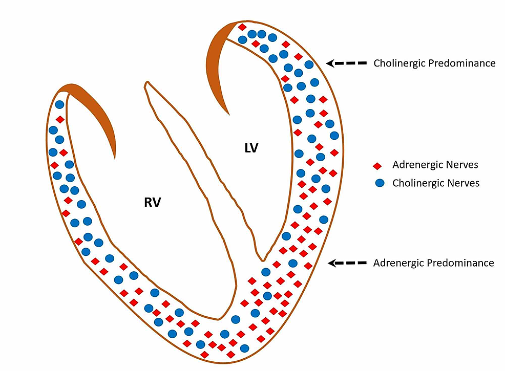 Schematic-recreation-of-the-adrenergic-and-cholinergic-nerve-distribution-in-normal-ventricles