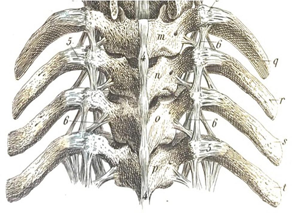 Posterior-depiction-of-many-of-the-larger-and-smaller-costovertebral-ligaments-from-Bock's-Hand-Atlas-der-Anatomie-des-Menschen-(Verlag-der-Rengerschen-Buchhandlung,-Berlin,-1860).