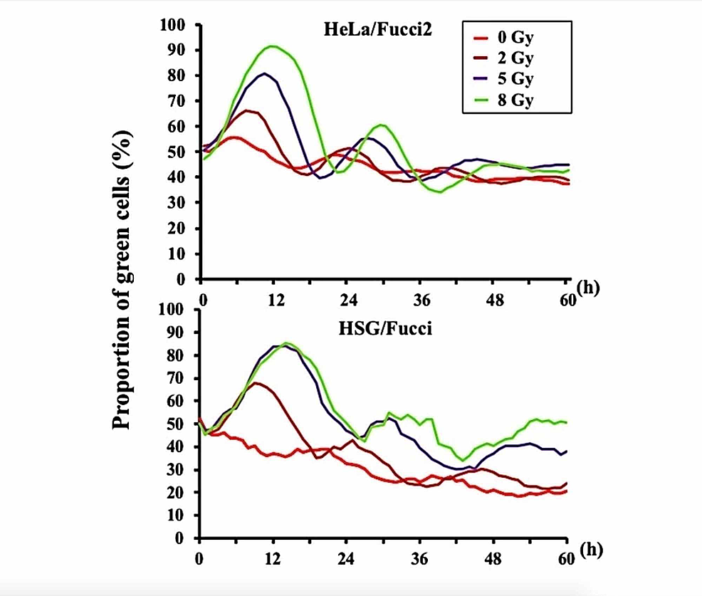 Curves-representing-the-proportion-of-green-S/G2/M-phase-HeLa/Fucci2-and-HSG/Fucci-cells-after-irradiation