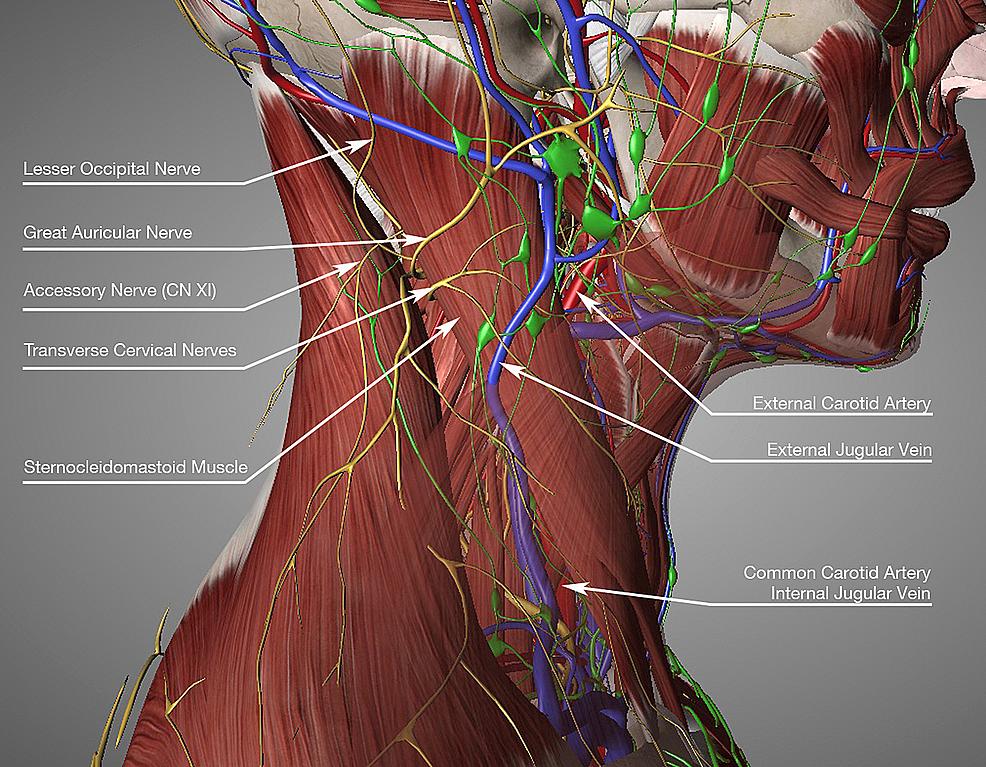 Sternocleidomastoid-muscle-anatomy