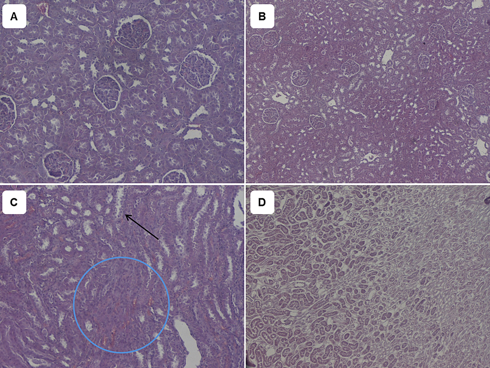 Haematoxylin/Eosin-stains-of-renal-tissues