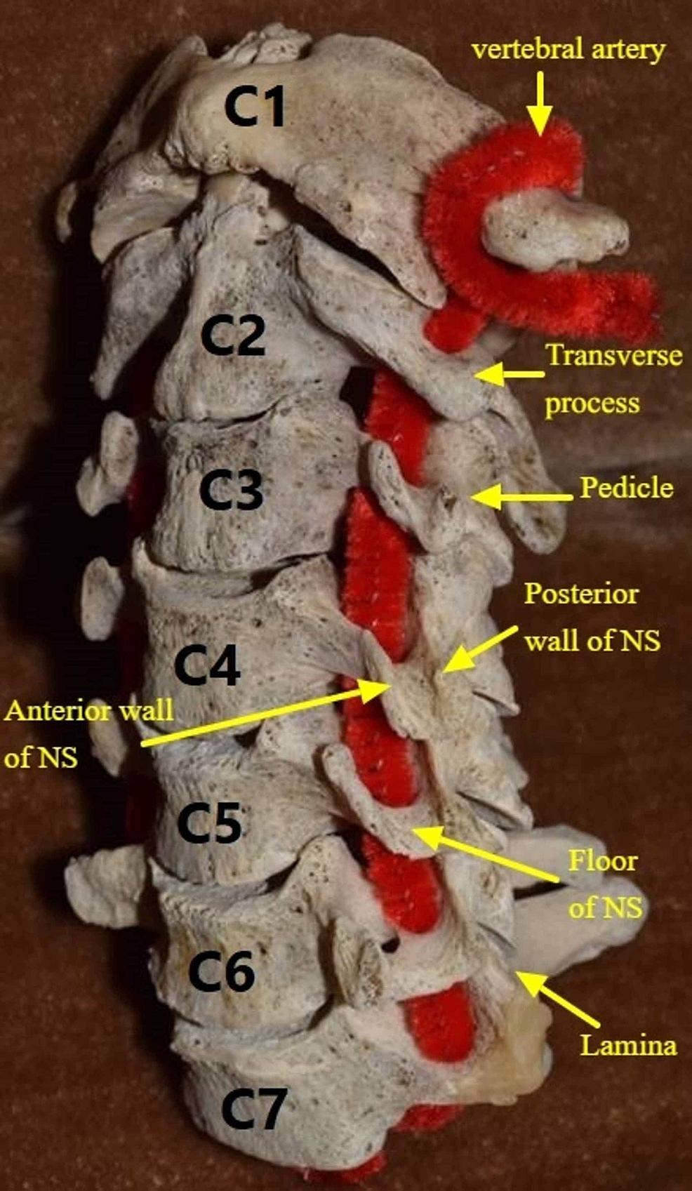 Neural-sulcus-boundaries.
