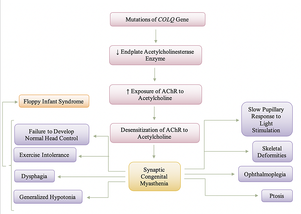 Pathogenesis-and-Manifestation-of-Synaptic-Congenital-Myasthenia